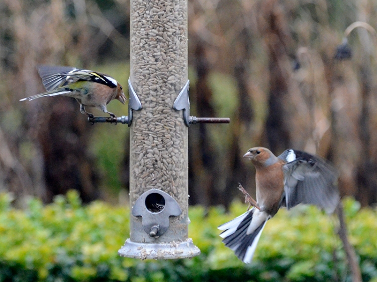 astonished flying chaffinch