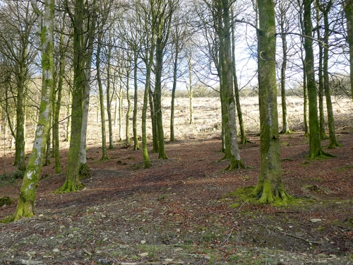beech wood longfauld