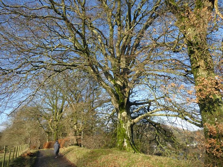 big tree at stubholm