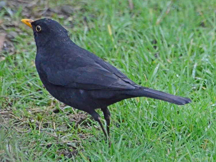 blackbird january