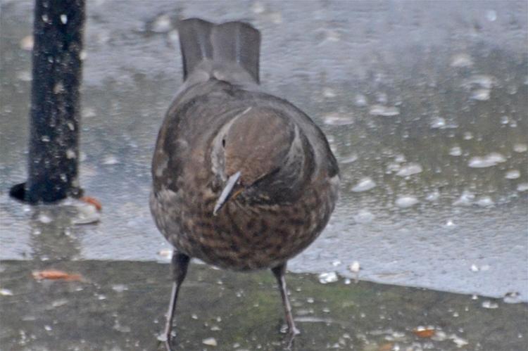 blackbird looking around
