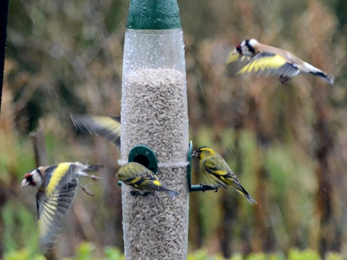 busy feeder in rain