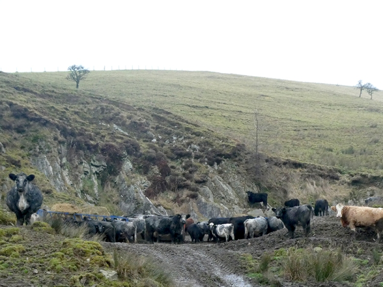 cattle at henwell