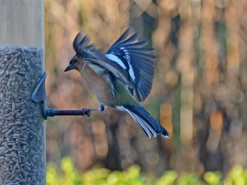 chaffinch one foot landing