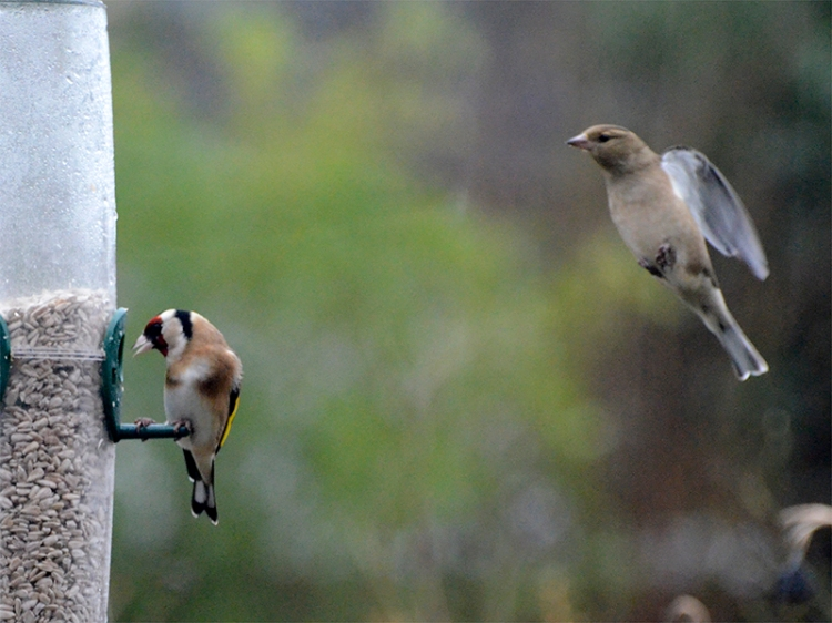 chaffinch queueing