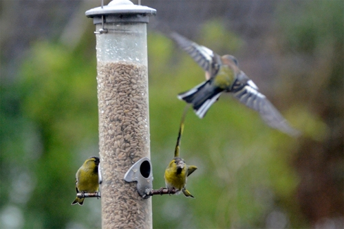 chaffinch warned off by siskin