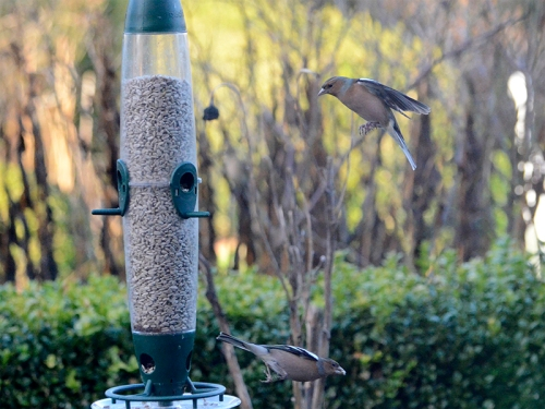 chaffinches at full feeder