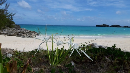 Coopers island beach with spider lily