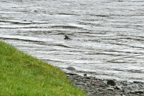 dipper swimming