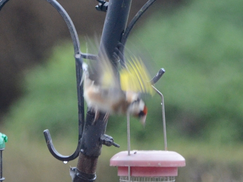 diving goldfinch