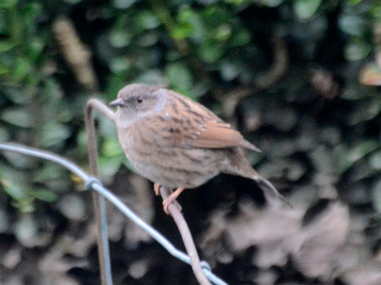 dunnock on wire