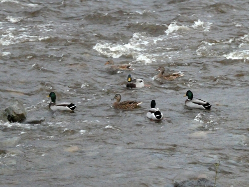 esk ducks rough