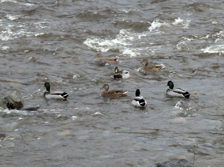 esk ducks rough