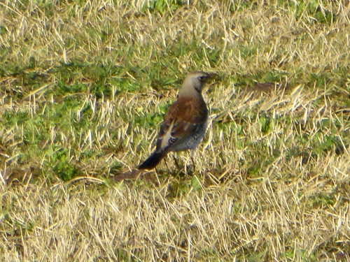 fieldfare bigholms