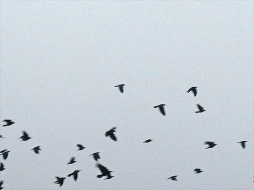 flying rooks