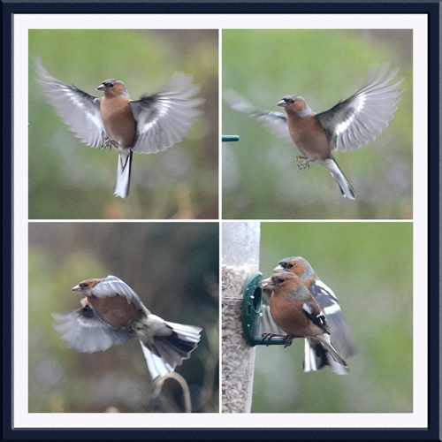 four chaffinch anel;