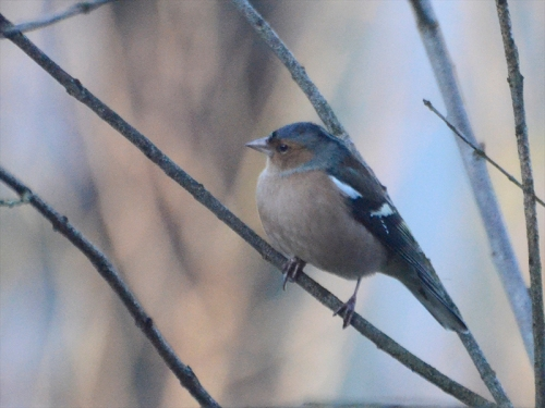 frosty chaffinch