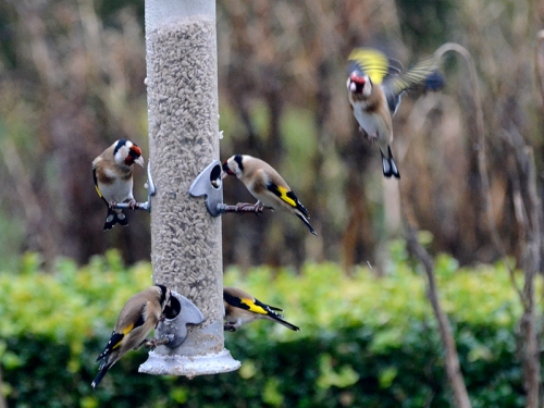 full feeder goldfinches