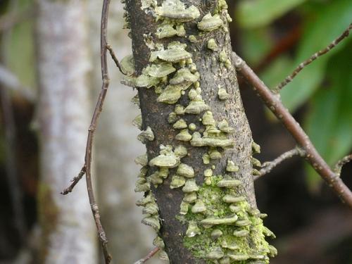 fungus on sapling