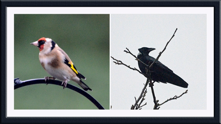 goldfinch and crow