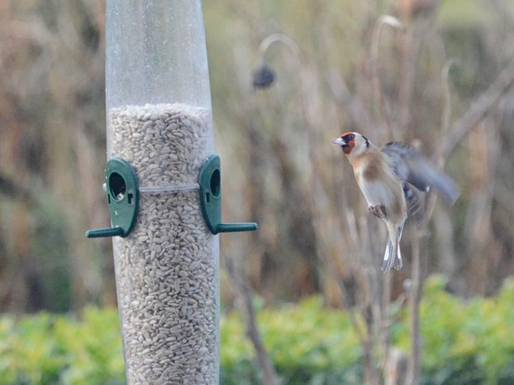 goldfinch at full feeder