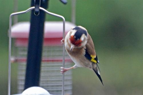 goldfinch checking