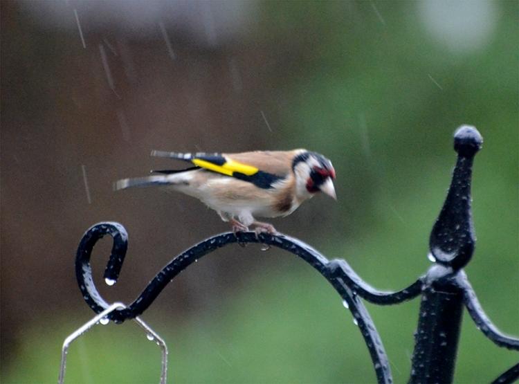 goldfinch in rain