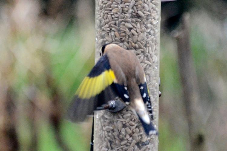 goldfinch landing