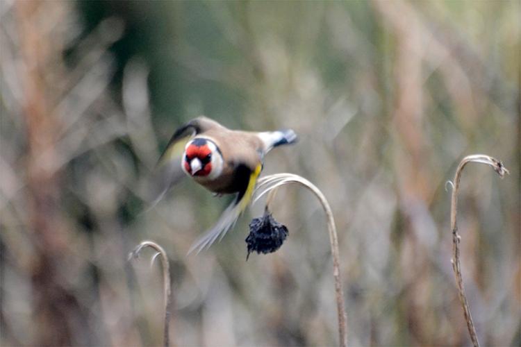 goldfinch off stalk