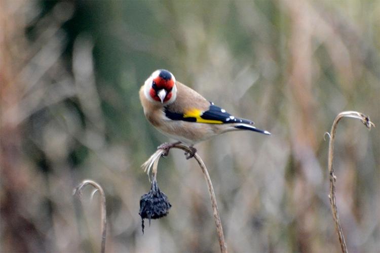 goldfinch on stalk