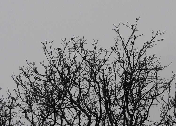 goldfinches in walnut