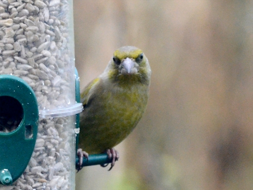 greenfinch staring