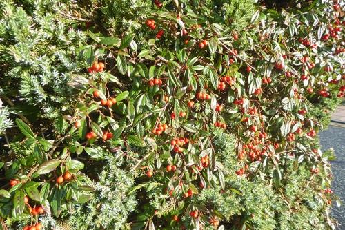 gretna berries
