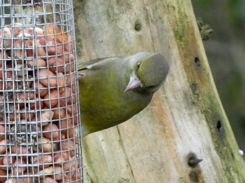 inquisitive greenfinch