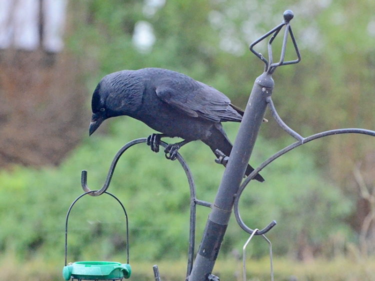 jackdaw chaecking things out