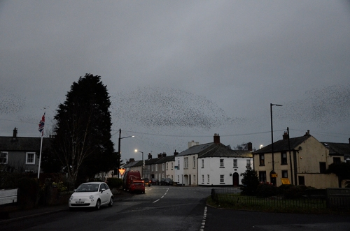 longtown murmuration Jan 25 no 10