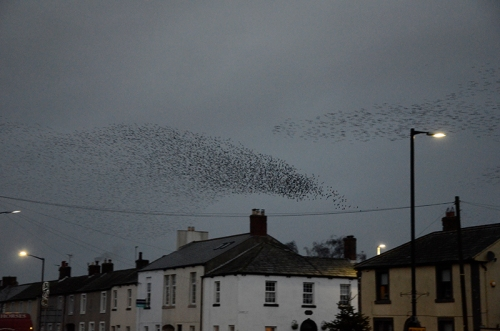 longtown murmuration Jan 25 no 11