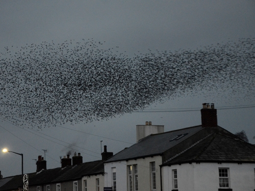 longtown murmuration Jan 25 no 13