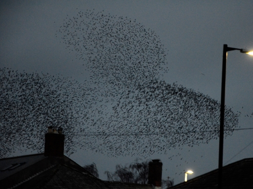 longtown murmuration Jan 25 no 15