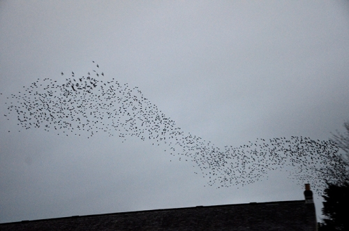 longtown murmuration Jan 25 no 9