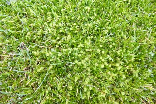 moss on lawn januray