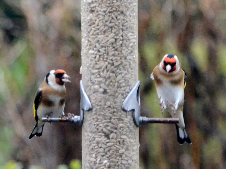 nearly flying goldfinch
