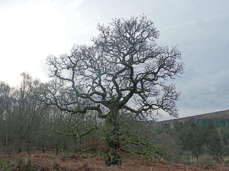 oak tree near jenny noble