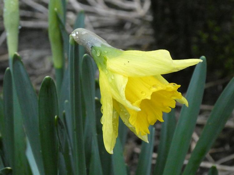 open daffodil january