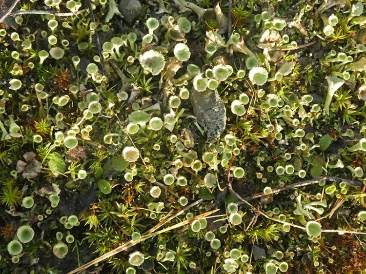 pixie cup lichen on ground