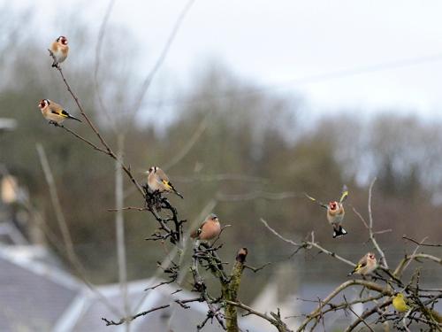 plum tree of birds