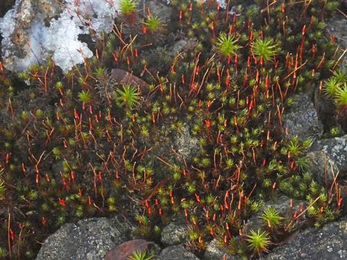 red moss sporanges