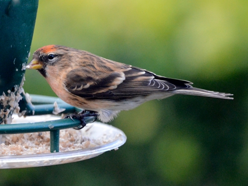 redpoll on feeder