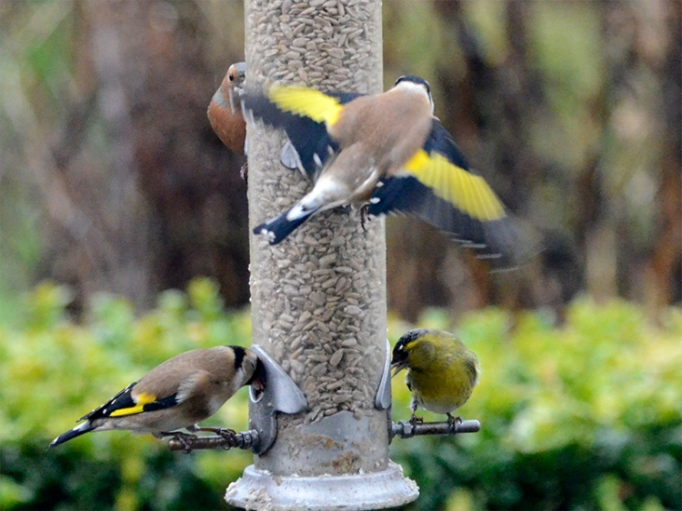 rising goldfinch