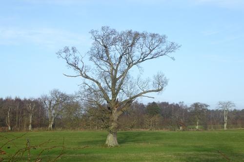 rockliffe tree